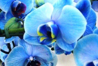 Orquídea Azul é a novidade das floriculturas