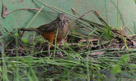 A ave-símbolo do Brasil procura um ninho