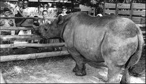 A chegada do rinoceronte Cacareco a São Paulo virou marchinha de Carnaval
